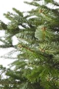 Bushy-Nordmann-fir-branch-detail-400x600