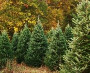 Herbeins-Frasier-Fir-Christmas-Trees-Web